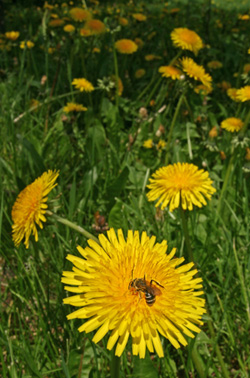 Blooming dandelions are a sure sign of spring.