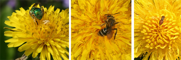 The flowers are used by bees and other pollinators, and can be an early source of nectar.