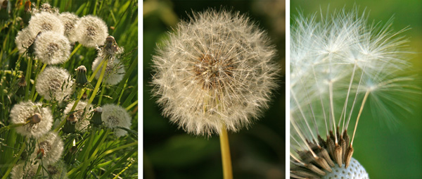 The flowers are followed by the distinctive globe-shaped seed heads.