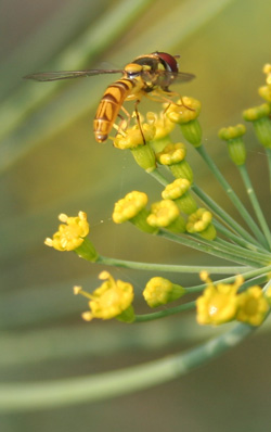 A syrphid or flower fly alights on a dill flower.