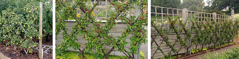 Belgian fence of pear at RHS Garden Wisley, England (L) and Sargent crabapple (Malus sargentii) at Minnesota Landscape Arboretum (C and R).
