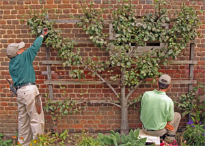 Espalier requires dedication to pruning to develop a beautiful and productive tree.
