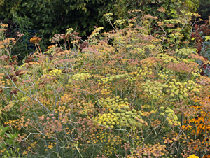 Fennel in flower (many past flower, going to seed).