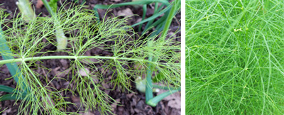 Fennel leaves are very finely dissected, giving the foliage a very feathery appearance.