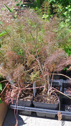 Fennel can be started from seed or bought as transplants.