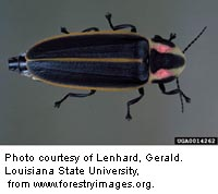 Adult fireflies have soft elytra (front wings).