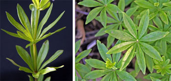 The palmate leaves of sweet woodruff are arranged in whorls around the squarish stems.