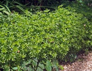Sweet woodruff, Galium odorata.
