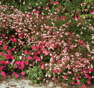 Gaura Dauphine planted with petunias.