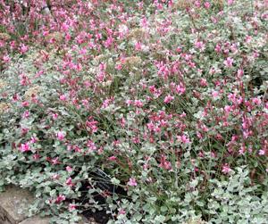 Gaura Siskyou Pink and Helichrysum petiolare.