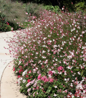 Combine gaura with many types of annuals and perennials.