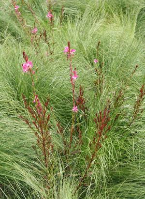 Pink gaura amid prairie dropseed (Sporobolus heterolepis).