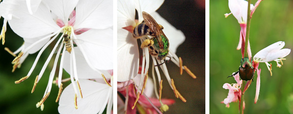Many insects visit the flowers, including syrphid flies (L), bees (C) and Japanese beetle (R).