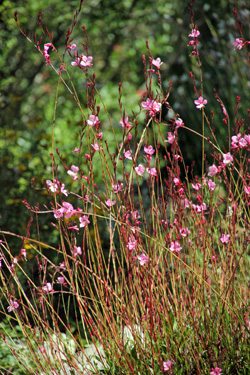 Flowers are produced on long, wiry stems.