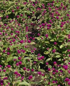 Purple gomphrena.