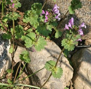 Henbit, Lamium amplexicaule, flowering in spring.
