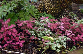 Hypoestes can be grown as a bedding plant to add color in partially shaded areas.