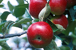 Some apple varieties are resistant to one or more pests. Photo by USDA-ARS