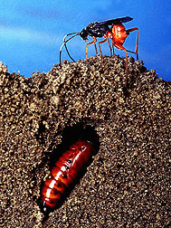 Parasites lay their eggs in or on their host. Photo by USDA-ARS.