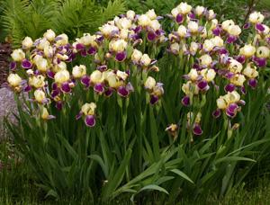 Bearded iris in bloom.