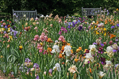 Iris are beautiful when in bloom, and need to be divided regularly to remain healthly and bloom well.