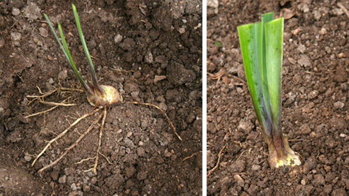 Place the rhizomes shallowly on a mound in the planting hole (L) and just cover the rhizome (R).