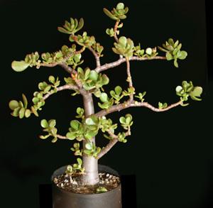 A bonsai-like jade plant.