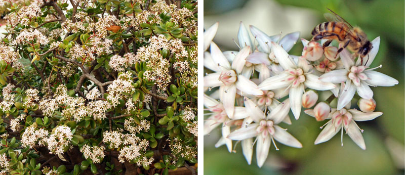 Jade plant produces clusters of small white or pink, star-shaped flowers.