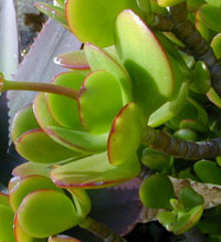 The rounded, fleshy leaves.