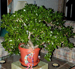 Jade plant is easily grown as a houseplant.