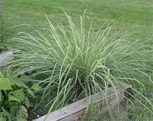 Lemongrass grown as an annual herb in a Wisconsin vegetable garden.