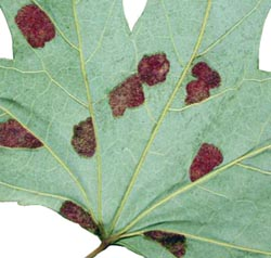Furry patches of erineum galls.