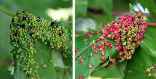 Bumpy growths caused by maple gall mites cover silver maple leaves.