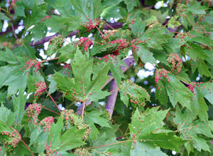 Infestations are often worse on leaves nearest the overwinter sites on the bark.