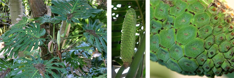 Inflorescences (L) and fruit (C and R) of Monstera deliciosa.