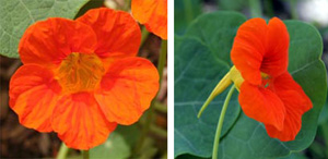 Nasturtium has intensely colored flowers, with a spur on the back.