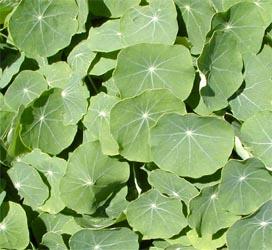 Nasturtium has nearly circular leaves.
