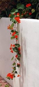 Trailing varieties look good cascading down walls.