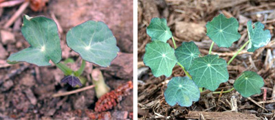 The distinctive nasturtium seedlings generally come up with 7-10 days of seeding and grow quickly in warm weather.