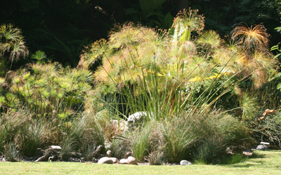 Papyrus is a tropical plant, so must be protected from frost.