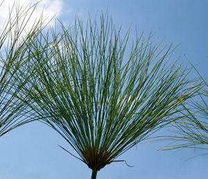 Each stem is topped with feather-duster-like growth.