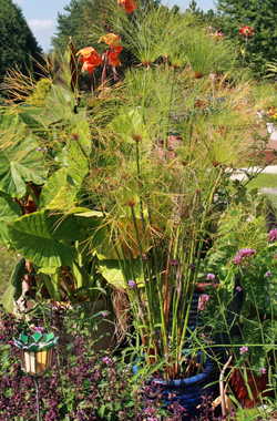 Use papyrus in or near water gardens