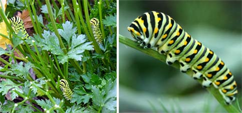 The larvae of black swallowtail feeding on parsley.