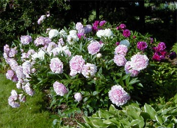 Peonies are a great flower for the Midwest.