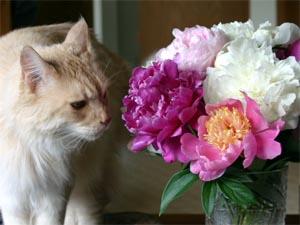 Peonies make good cut flowers.