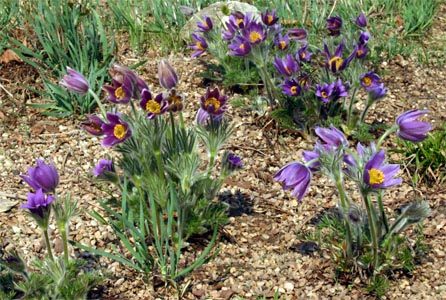 Pasque flower is one of the earliest blooming perennials.