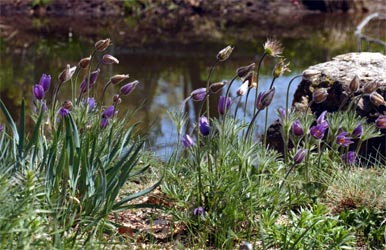 Pasque flower is a good addition to the rock garden.