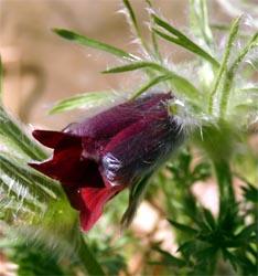 The cultivar 'Rubra' has red flowers.