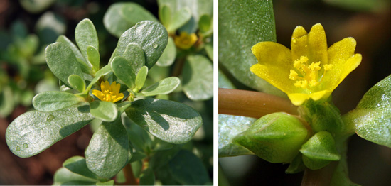 Each inconspicuous yellow flower only blooms for a short time.