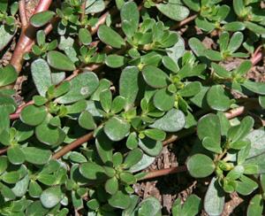 The fleshy leaves are borne on reddish stems.